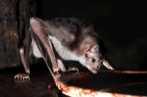 murcielago vampiro alimentandose