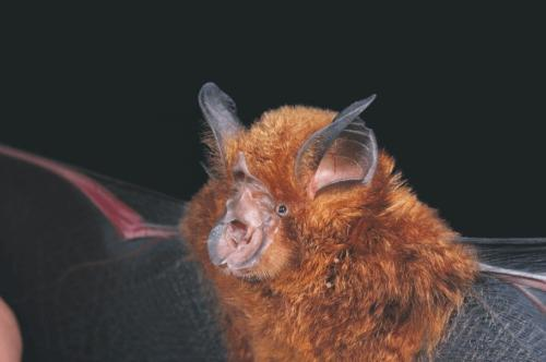 Murciélago de nariz rara