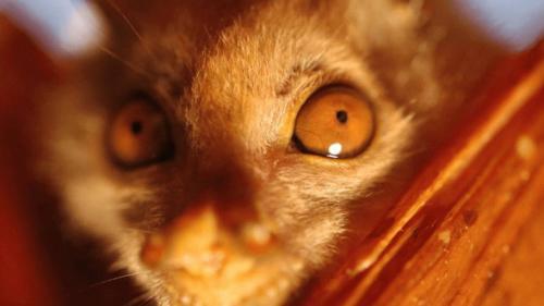 Murcielago nariz de tubo