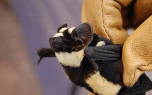 Murcielago panda