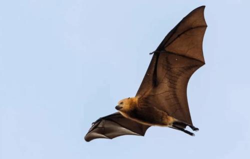 murcielago zorro volador australiano